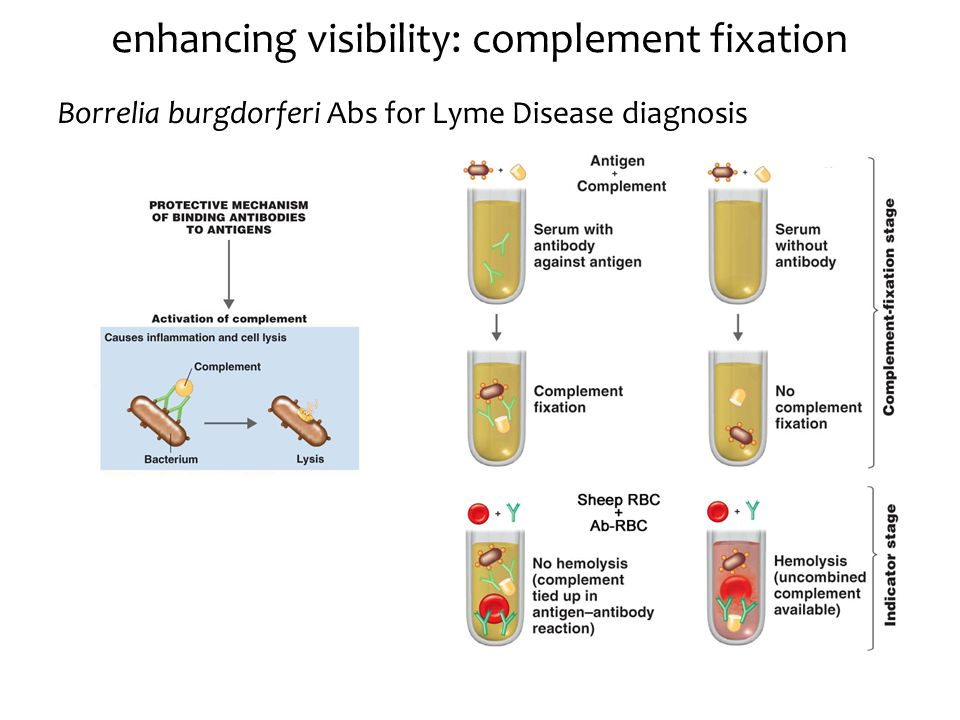 enhancing visibility: complement fixation