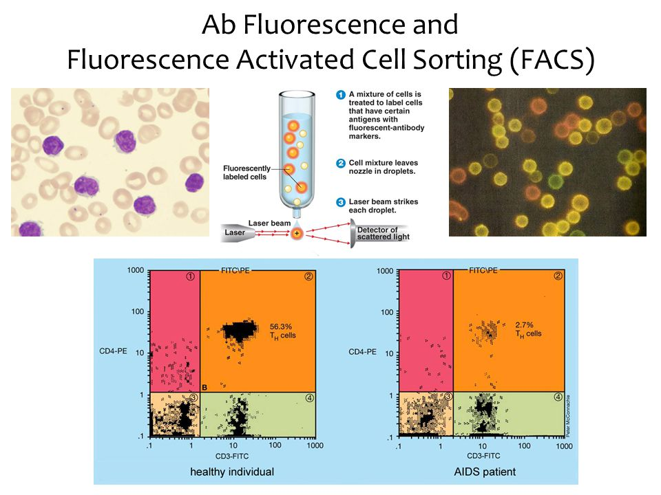 Ab Fluorescence and Fluorescence Activated Cell Sorting (FACS)