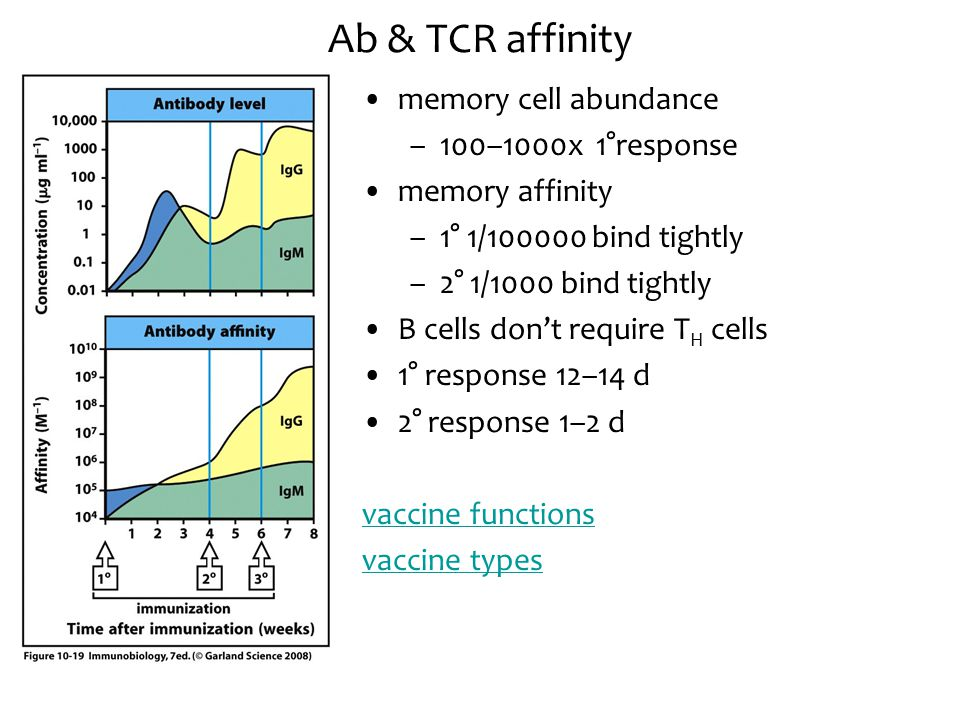 Ab & TCR affinity memory cell abundance 100–1000x 1°response