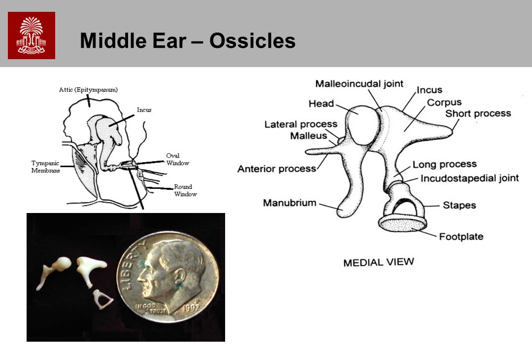 Middle Ear – Ossicles