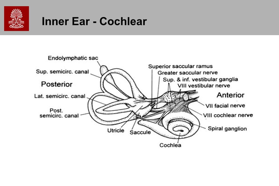 Inner Ear - Cochlear