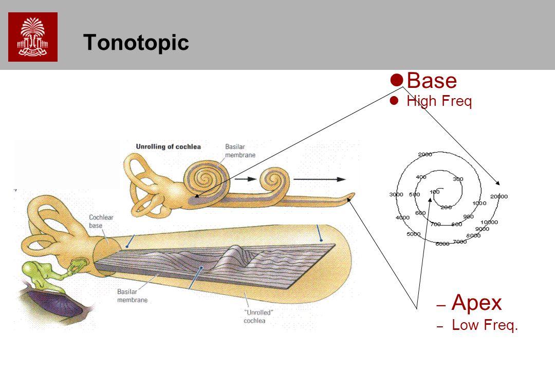 Tonotopic Base High Freq Apex Low Freq.