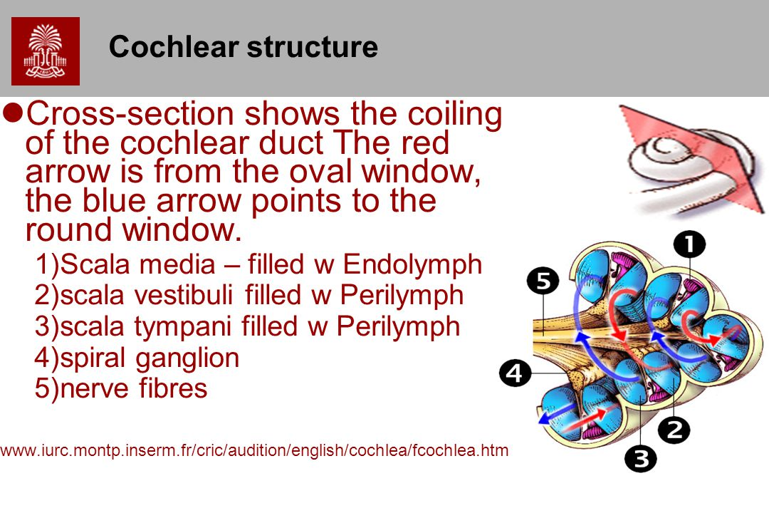 Cochlear structure
