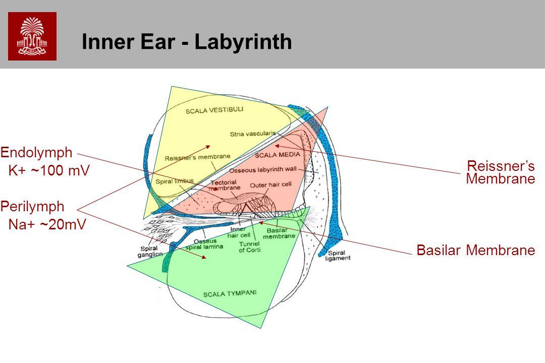 Inner Ear - Labyrinth Endolymph K+ ~100 mV Reissner's Membrane