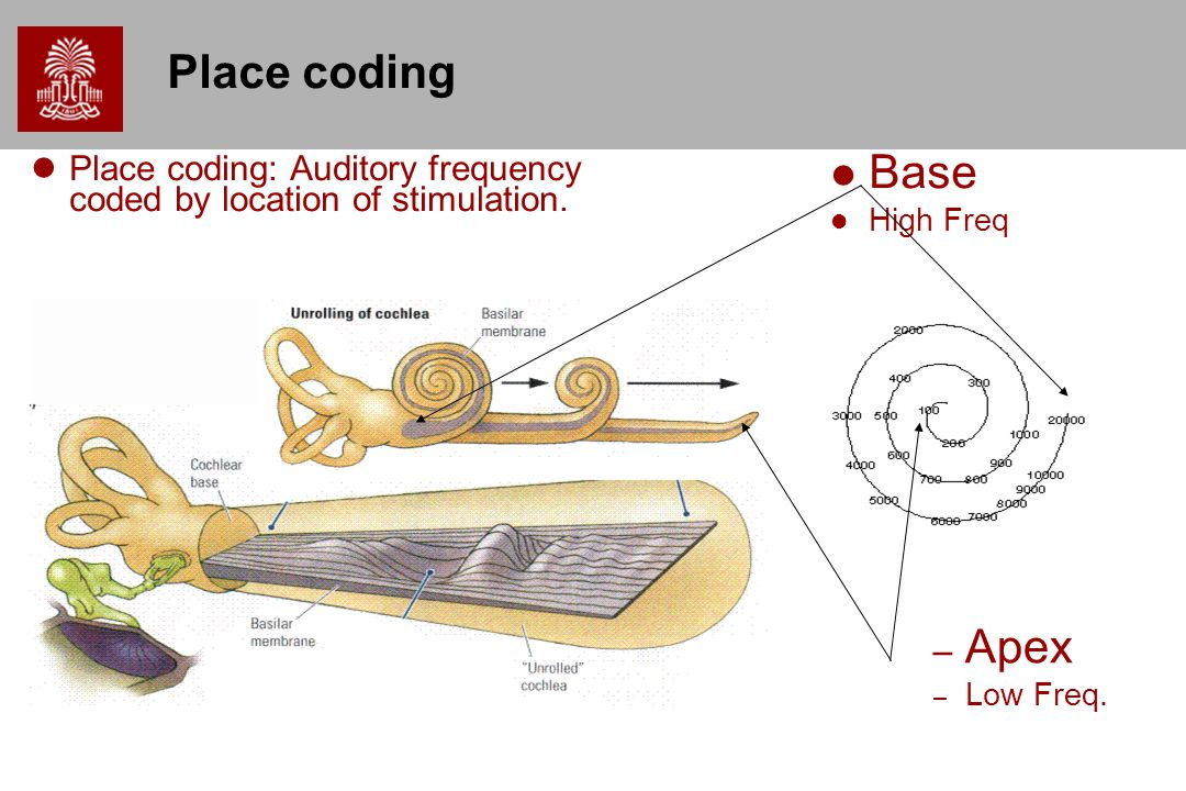 Place coding Place coding: Auditory frequency coded by location of stimulation. Base. High Freq. Apex.
