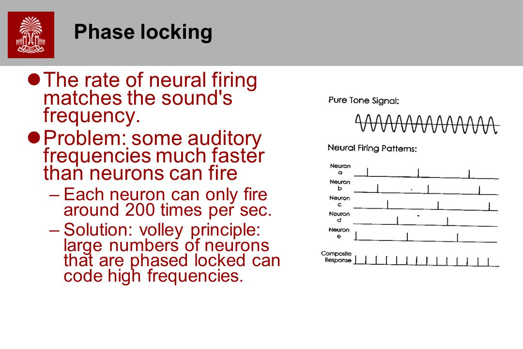 The rate of neural firing matches the sound s frequency.