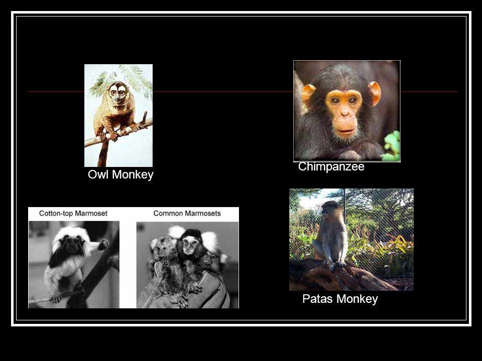Chimpanzee Owl Monkey Patas Monkey