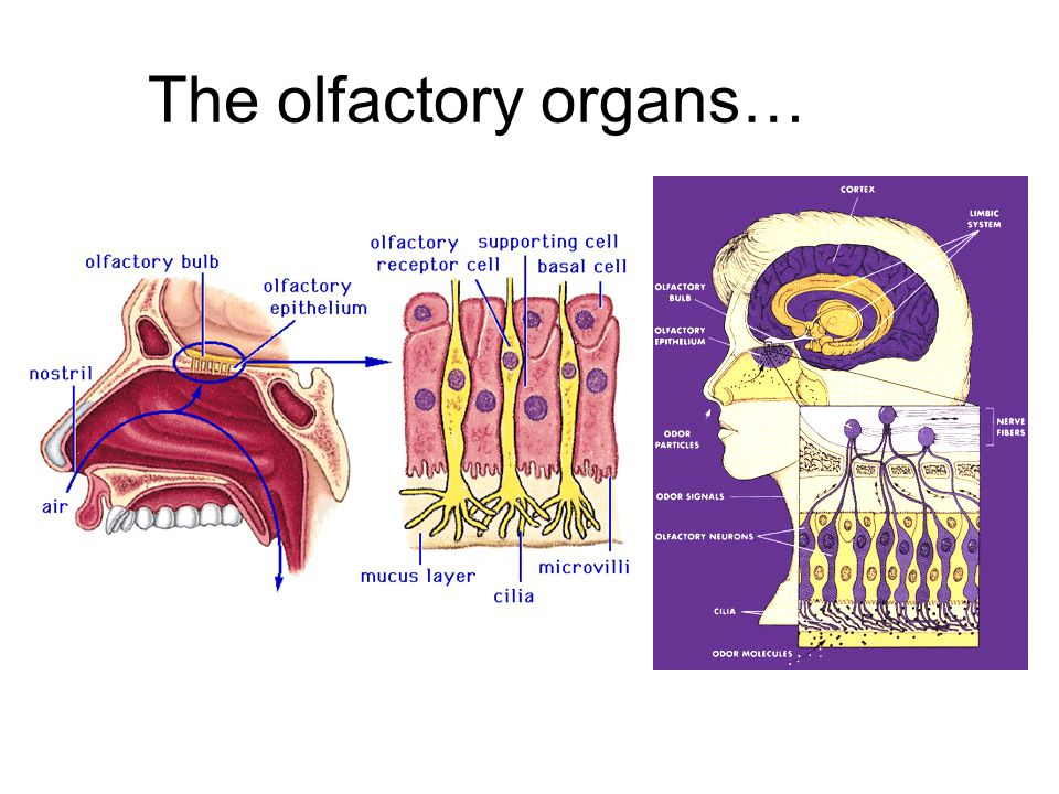 The olfactory organs…