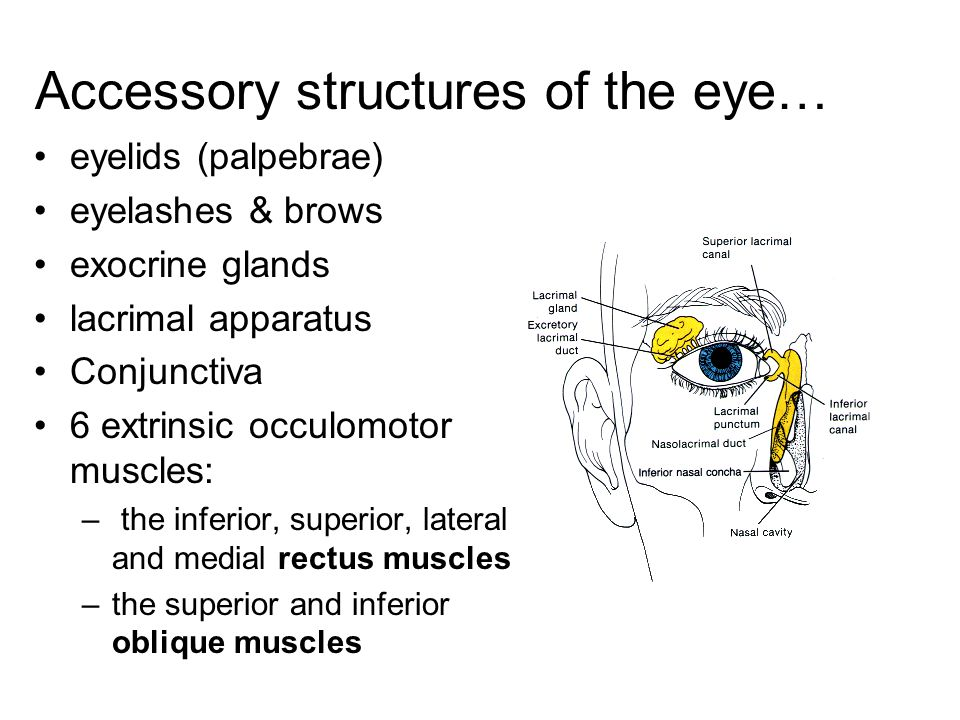 Accessory structures of the eye…