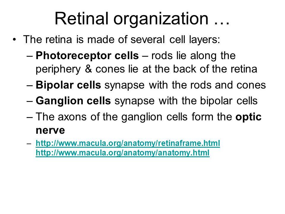 Retinal organization …