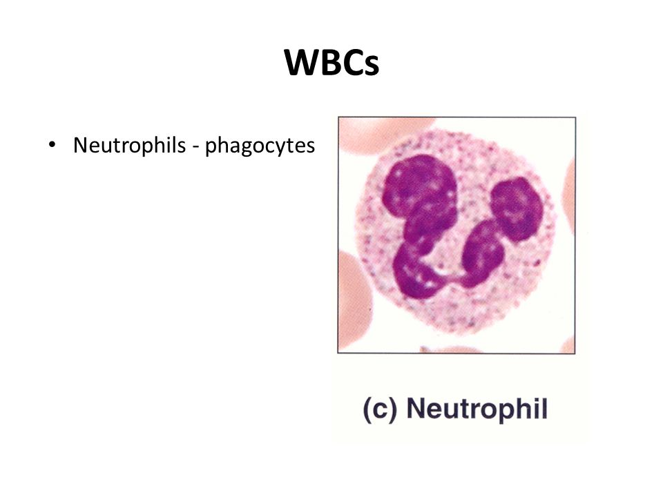 WBCs Neutrophils - phagocytes