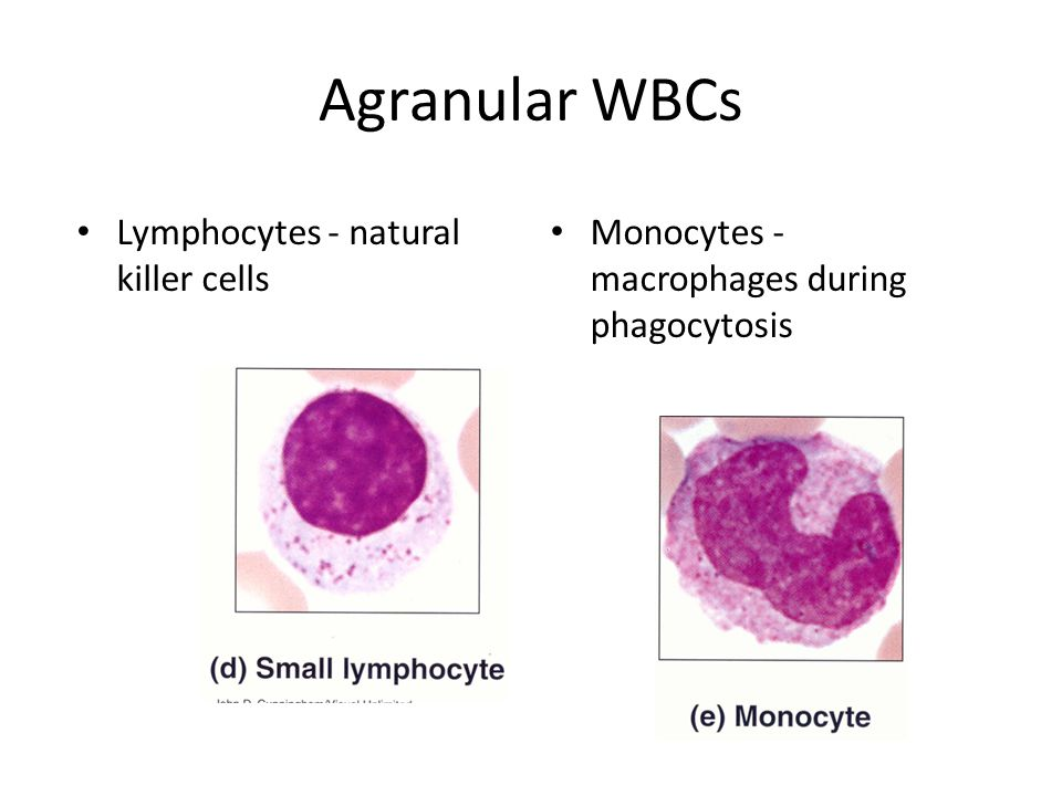 Agranular WBCs Lymphocytes - natural killer cells