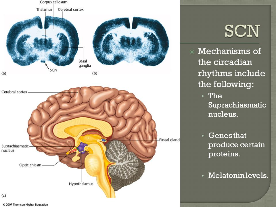 SCN Mechanisms of the circadian rhythms include the following: