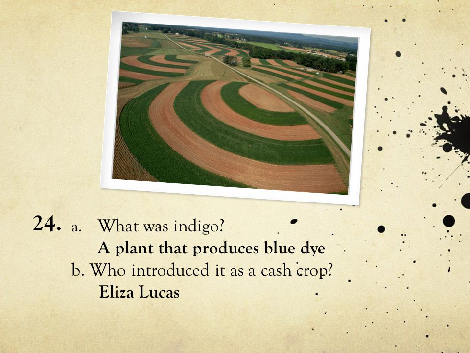 24. What was indigo A plant that produces blue dye