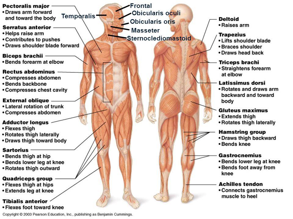 Frontal Obicularis oculi Temporalis Obicularis oris Masseter Sternoclediomastoid