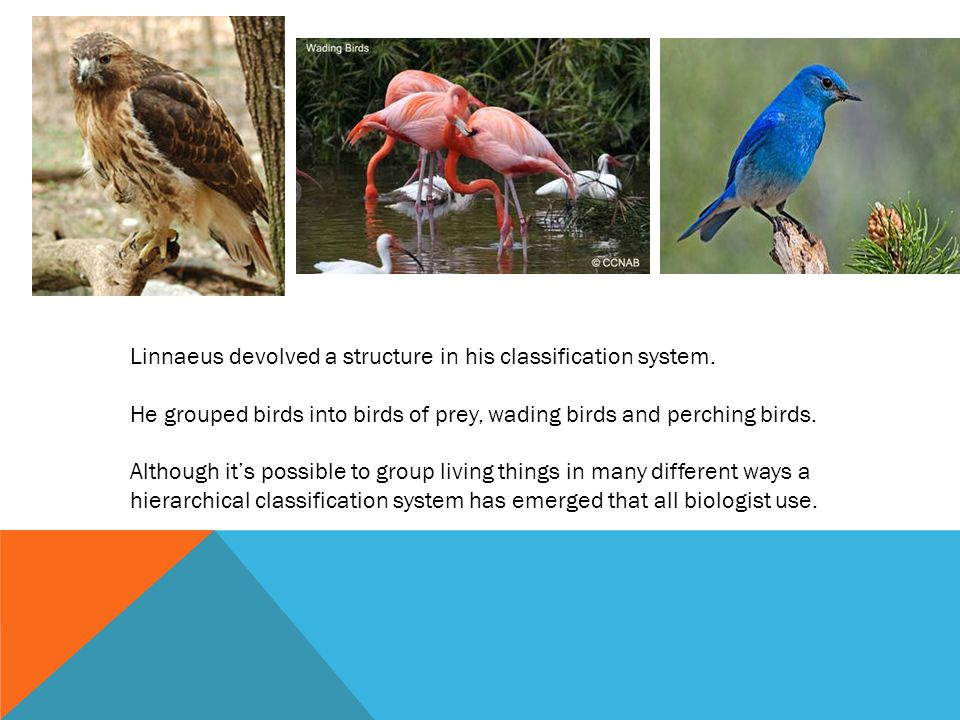 Linnaeus devolved a structure in his classification system.
