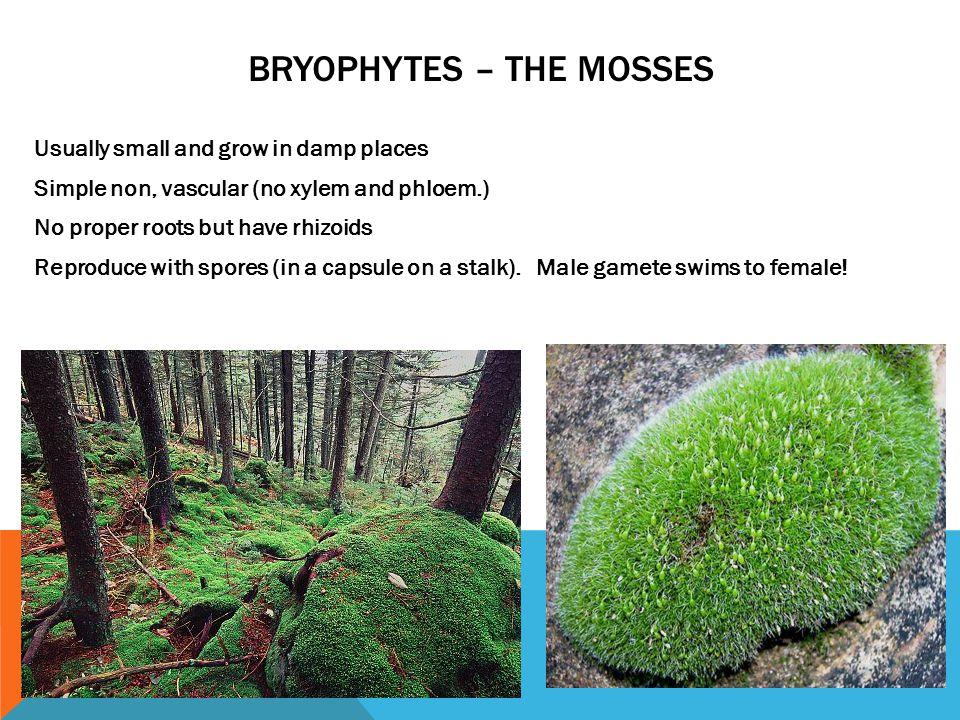 Bryophytes – The mosses
