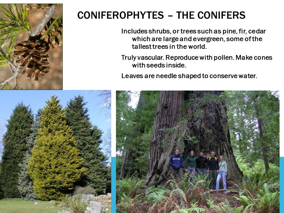 Coniferophytes – The conifers