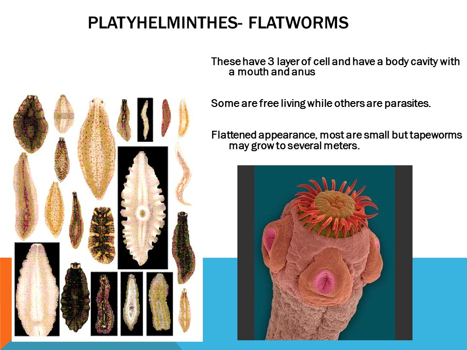 Platyhelminthes- flatworms