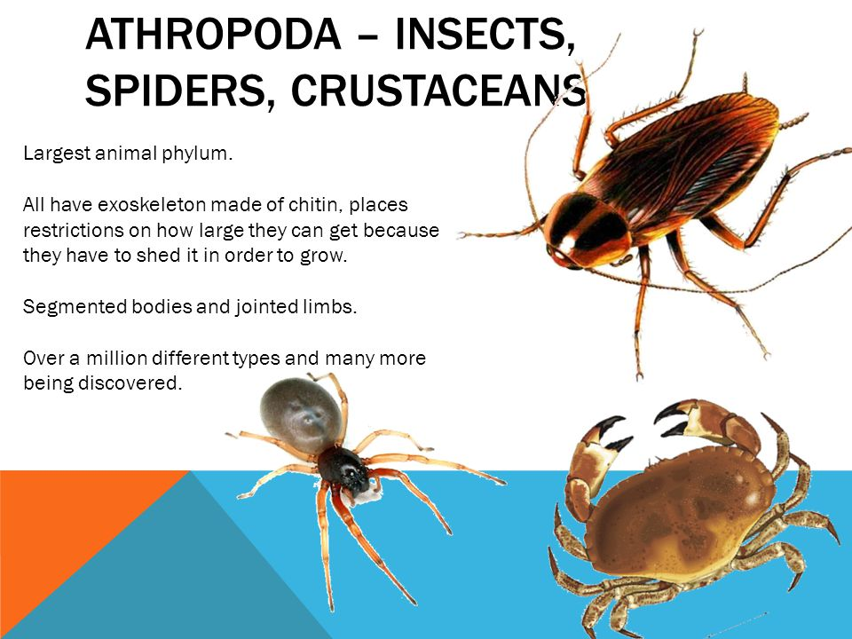 Athropoda – insects, spiders, crustaceans