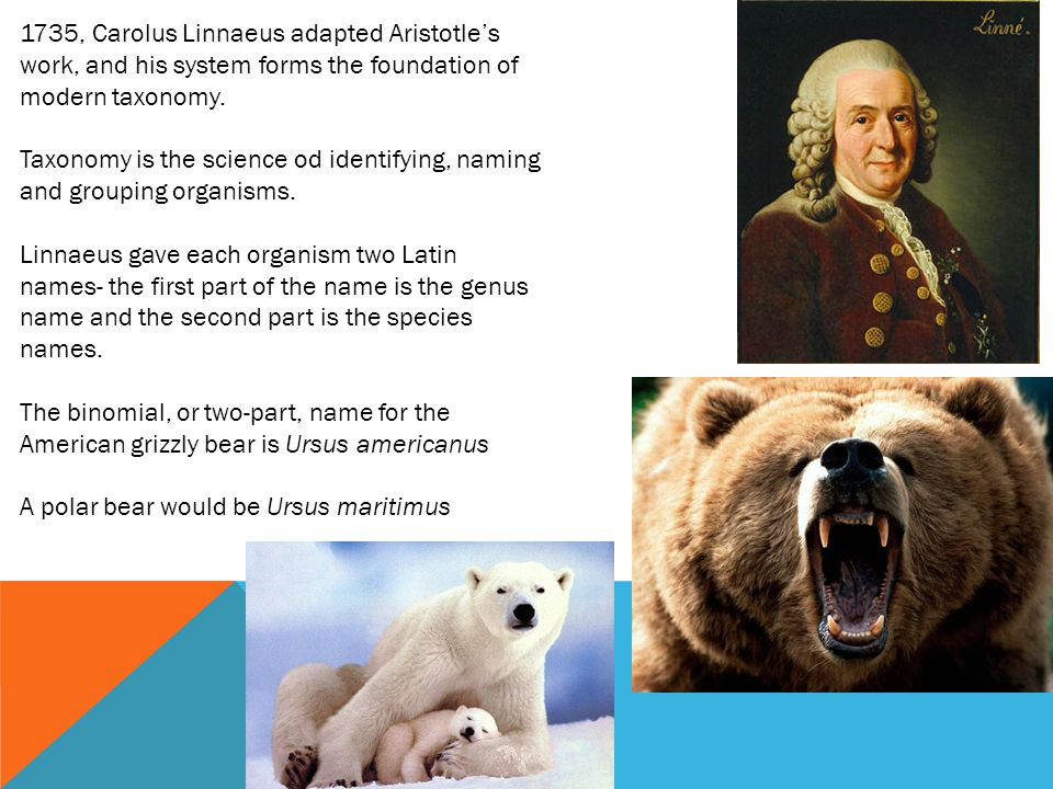 1735, Carolus Linnaeus adapted Aristotle's work, and his system forms the foundation of modern taxonomy.