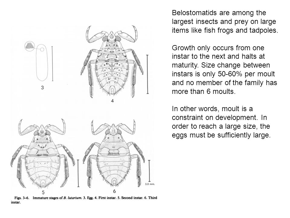 Belostomatids are among the largest insects and prey on large items like fish frogs and tadpoles.