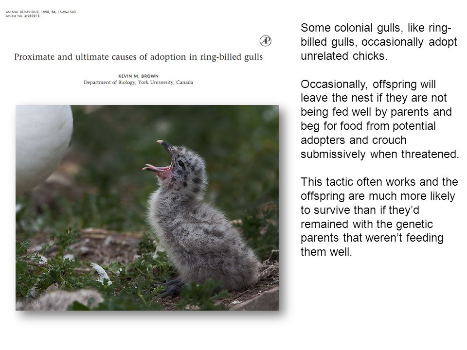 Some colonial gulls, like ring-billed gulls, occasionally adopt unrelated chicks.