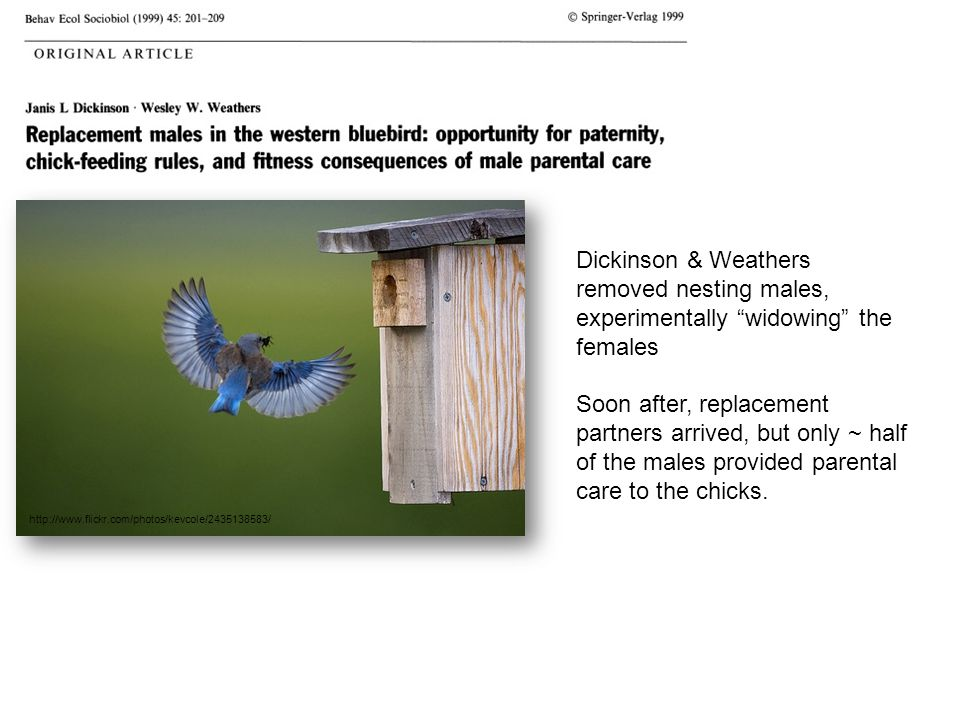 Dickinson & Weathers removed nesting males, experimentally widowing the females