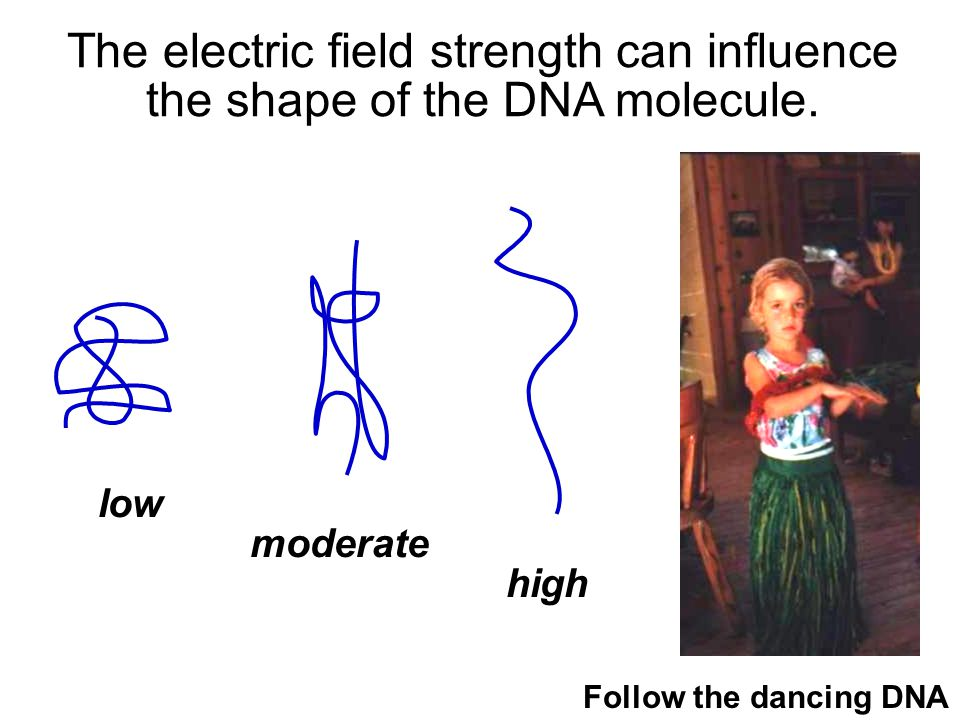 The electric field strength can influence the shape of the DNA molecule.