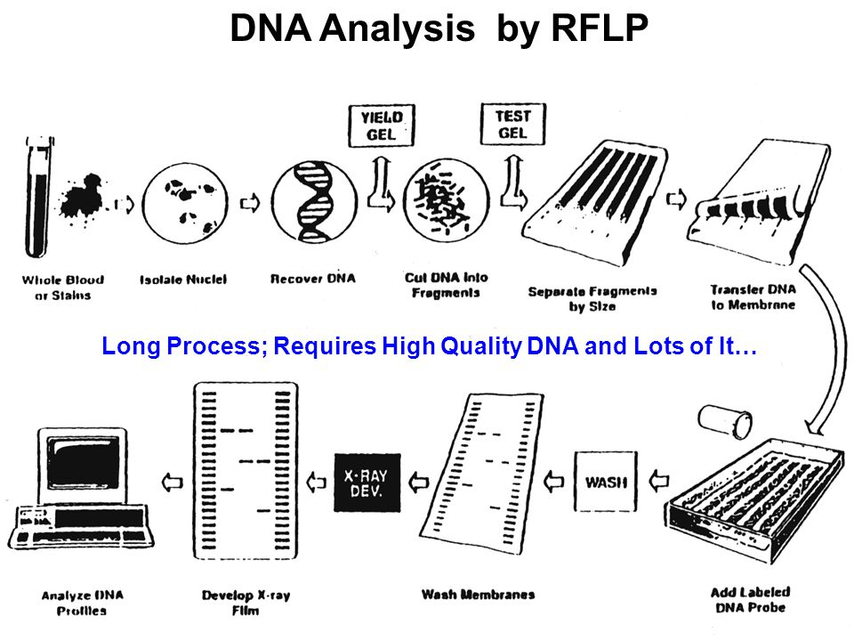 DNA Analysis by RFLP Long Process; Requires High Quality DNA and Lots of It…