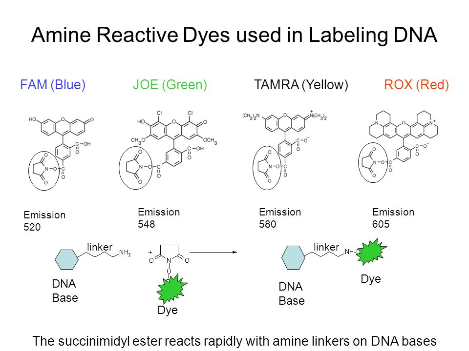 Amine Reactive Dyes used in Labeling DNA