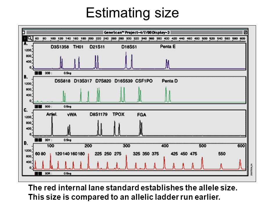 Estimating size The red internal lane standard establishes the allele size.