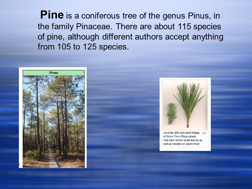 Pine is a coniferous tree of the genus Pinus, in the family Pinaceae