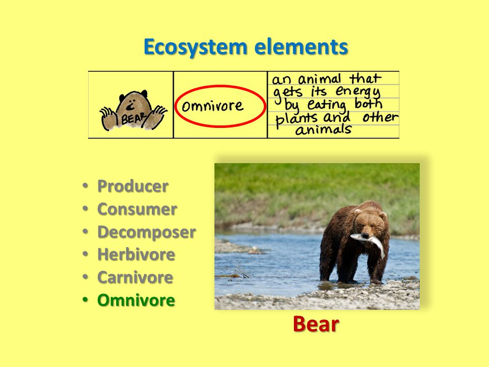 Ecosystem elements Bear