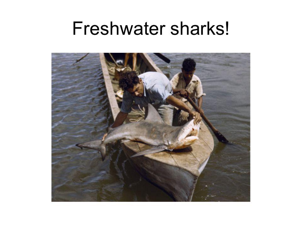 Freshwater sharks!