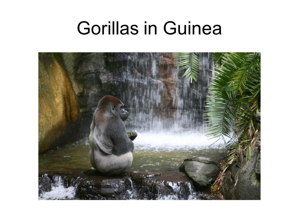 Gorillas in Guinea