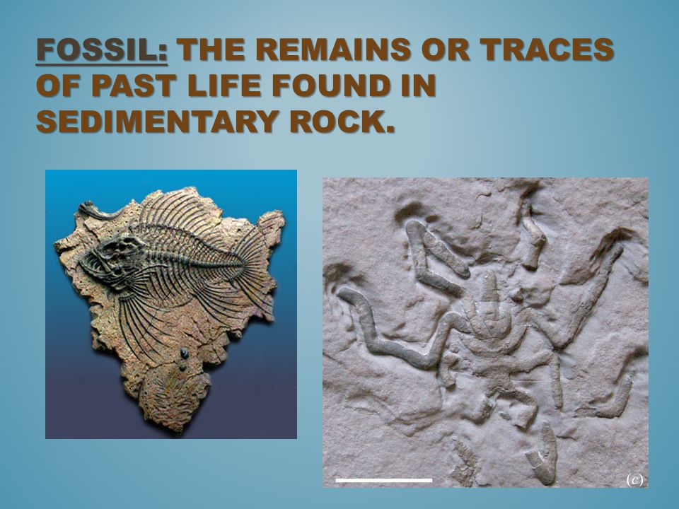 Fossil: The remains or traces of past life found in sedimentary rock.