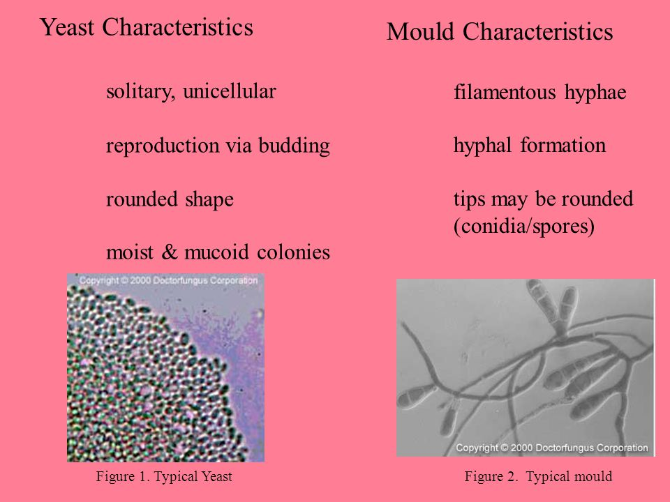 Yeast Characteristics solitary, unicellular Mould Characteristics