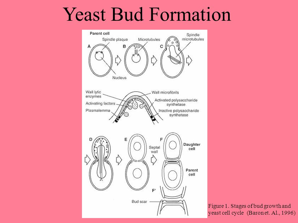 Yeast Bud Formation Figure 1. Stages of bud growth and