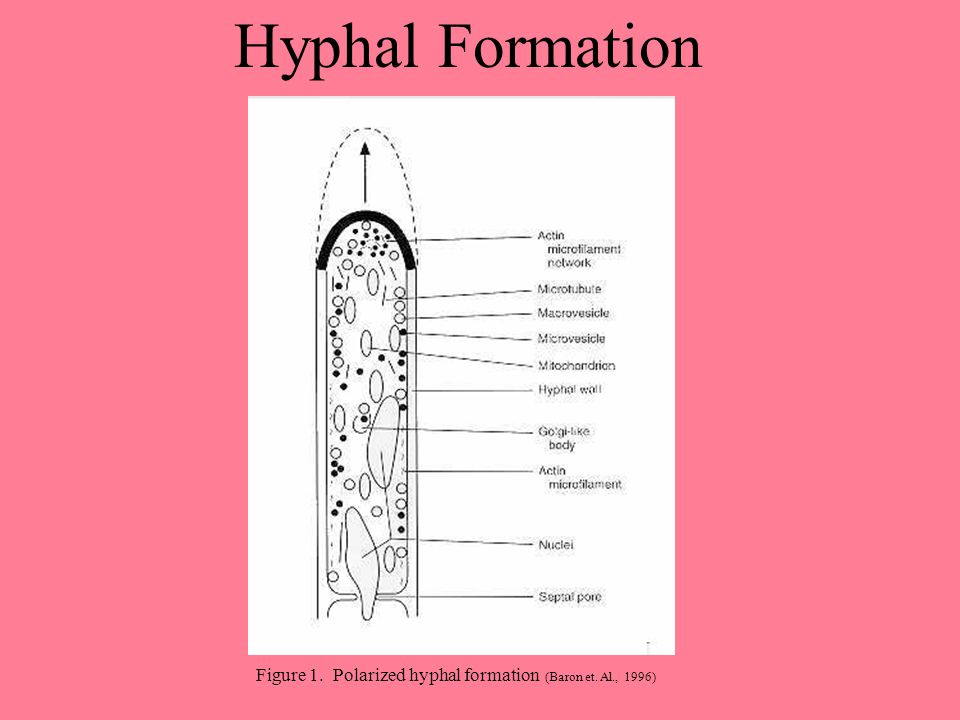 Hyphal Formation