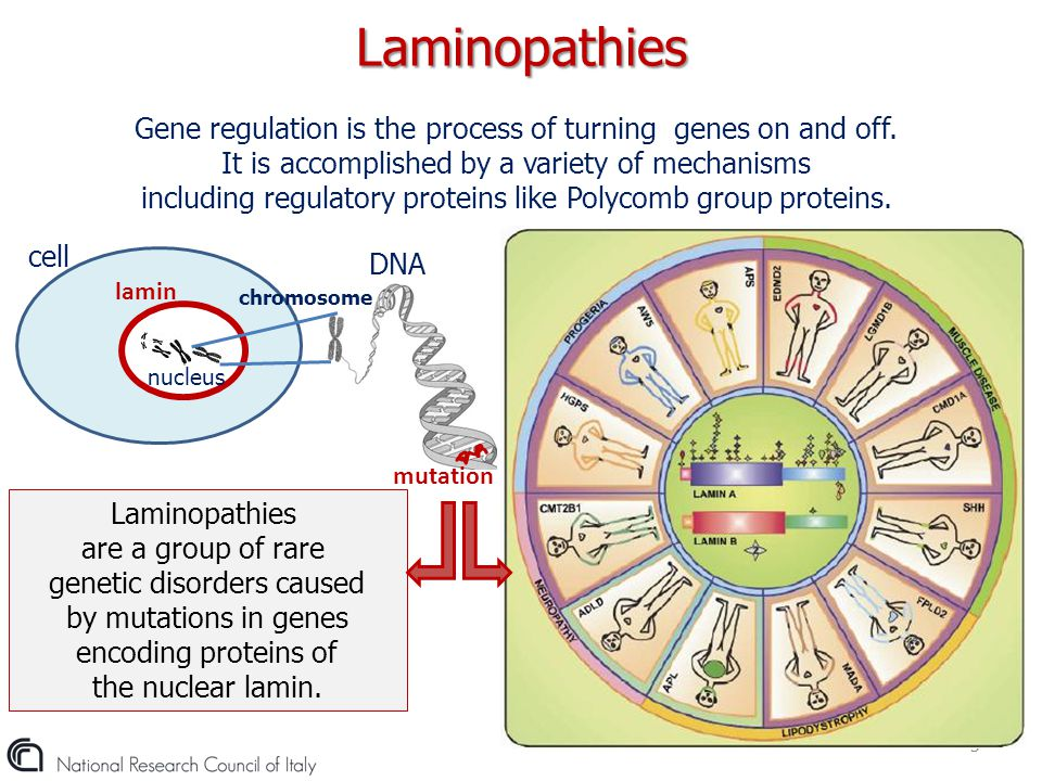Laminopathies Gene regulation is the process of turning genes on and off. It is accomplished by a variety of mechanisms.