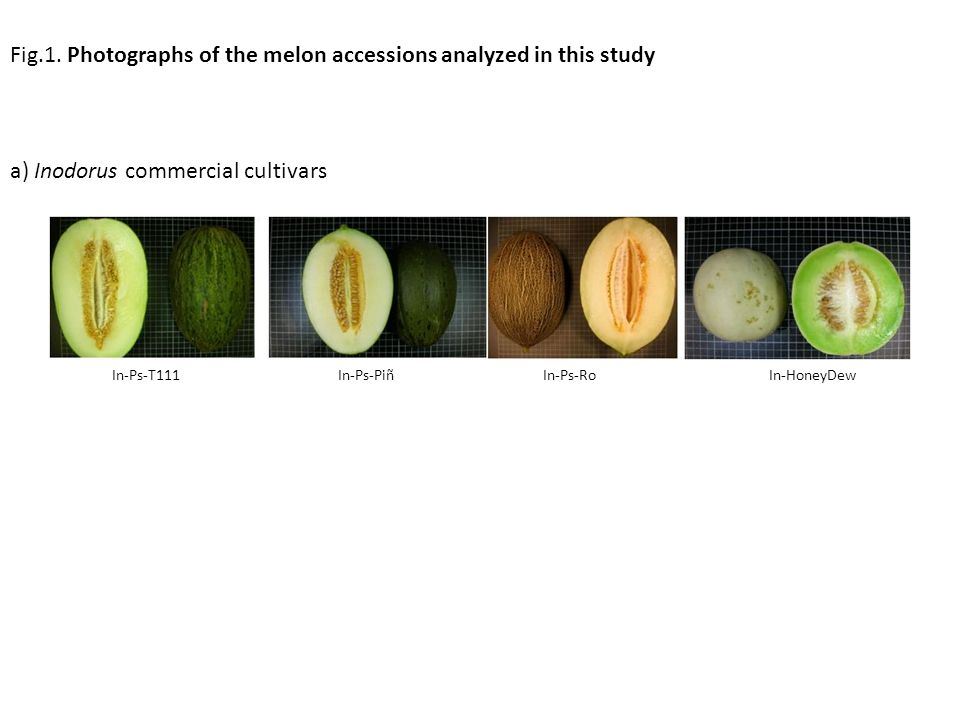Fig.1. Photographs of the melon accessions analyzed in this study