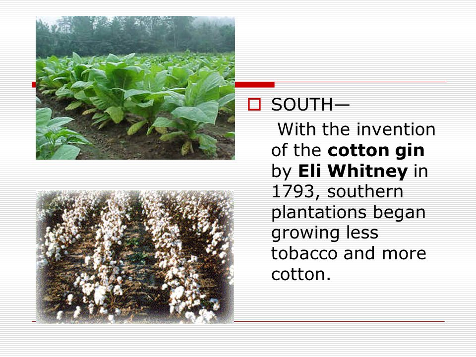 SOUTH— With the invention of the cotton gin by Eli Whitney in 1793, southern plantations began growing less tobacco and more cotton.