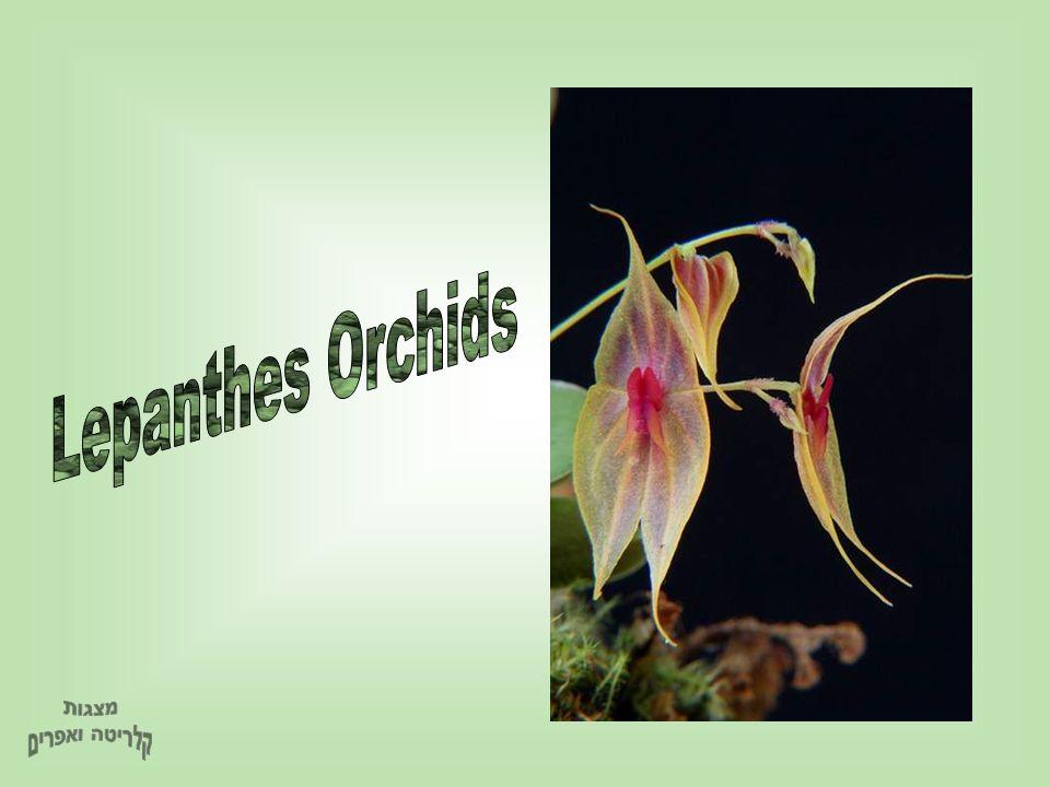 Lepanthes Orchids מצגות קלריטה ואפרים