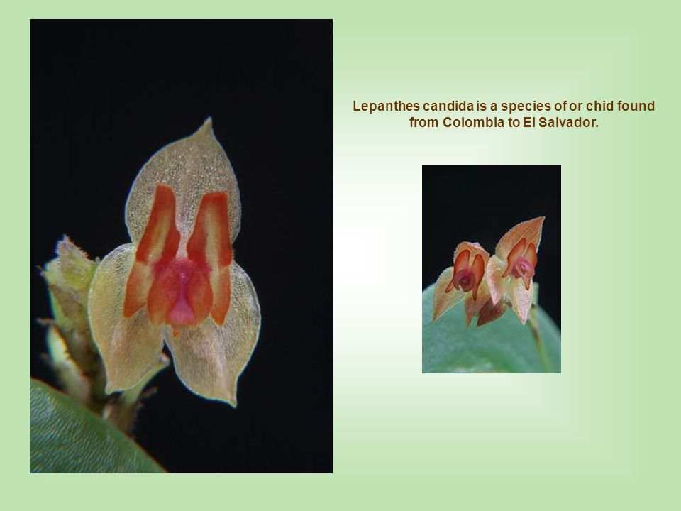 Lepanthes candida is a species of or chid found from Colombia to El Salvador.