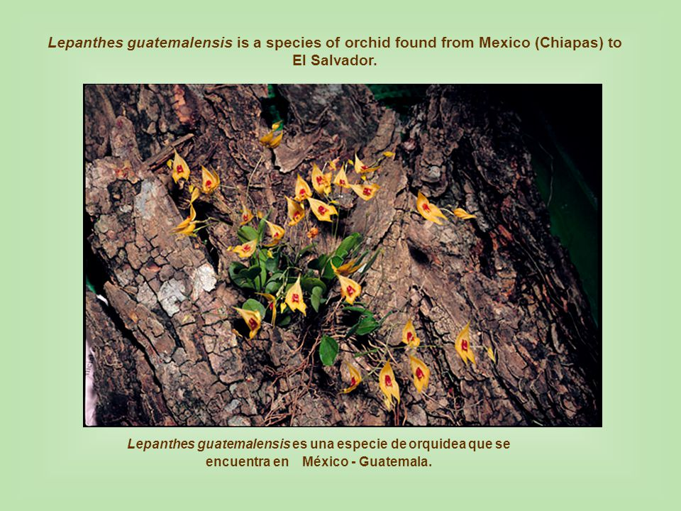 Lepanthes guatemalensis is a species of orchid found from Mexico (Chiapas) to El Salvador.