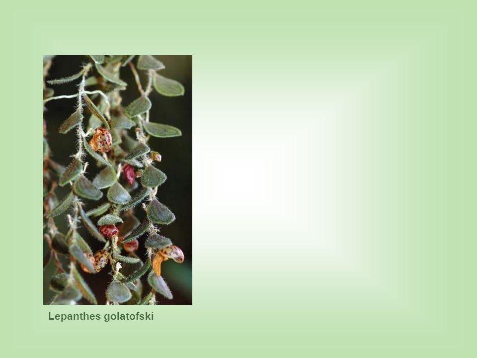 Lepanthes golatofski