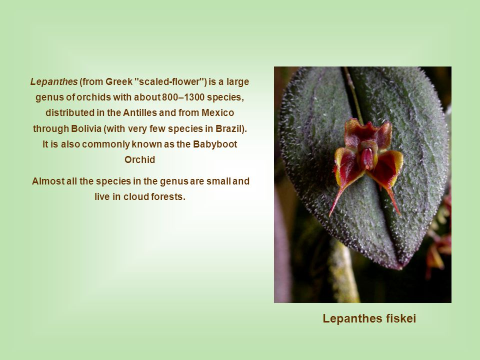 Lepanthes (from Greek scaled-flower ) is a large genus of orchids with about 800–1300 species, distributed in the Antilles and from Mexico through Bolivia (with very few species in Brazil). It is also commonly known as the Babyboot Orchid