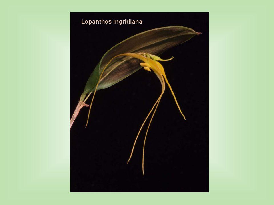 Lepanthes ingridiana