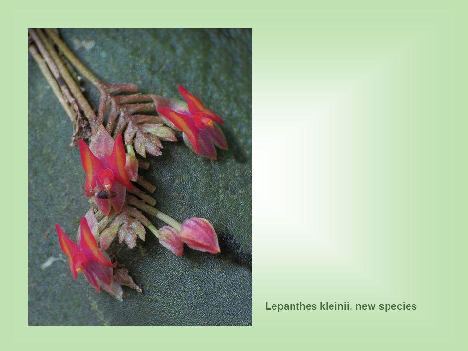 Lepanthes kleinii, new species